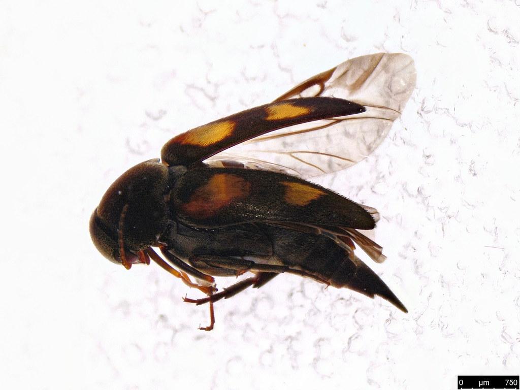 15 - Mordellidae sp.