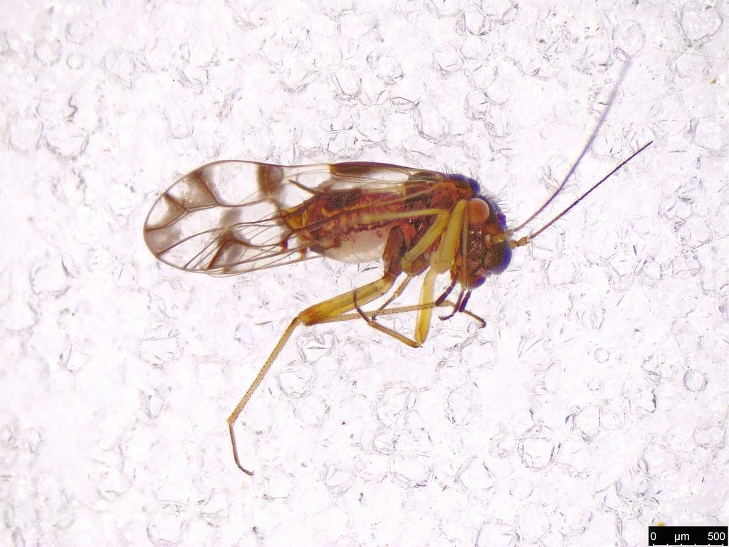 2 - Psocodea sp.