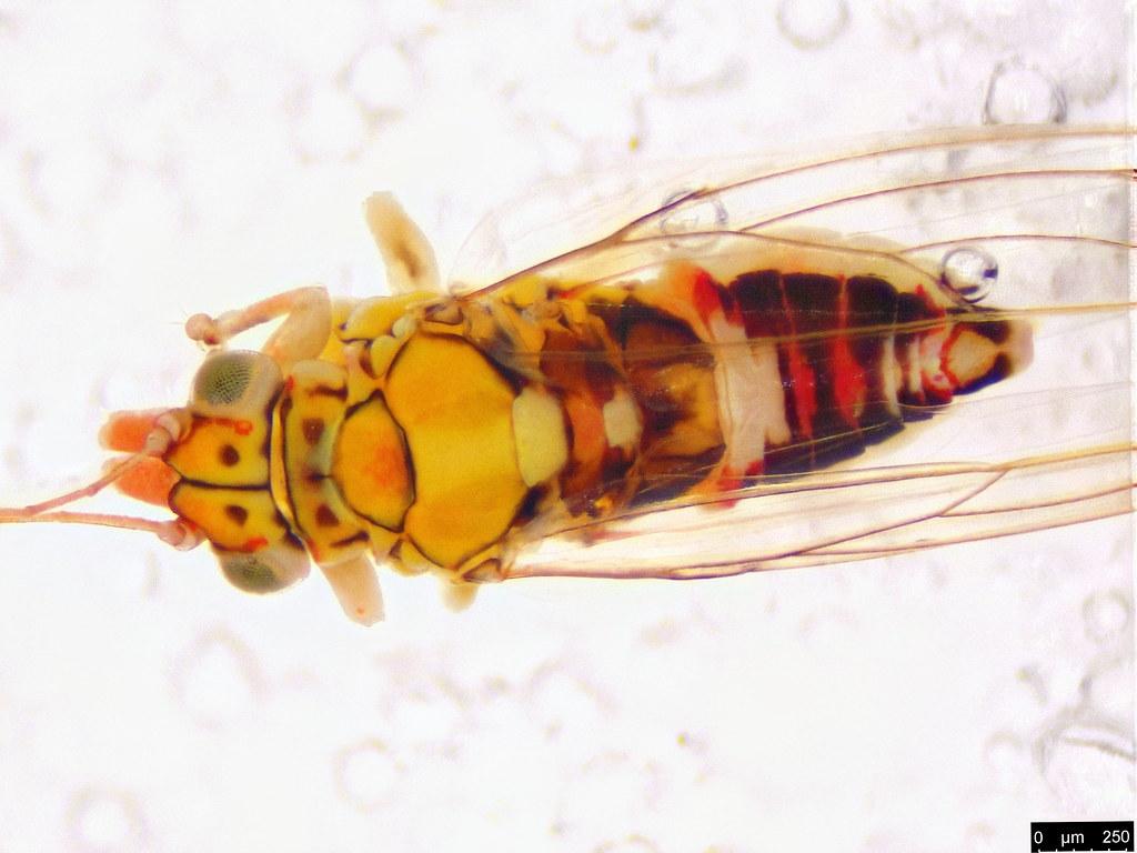 3b - Glycaspis sp.
