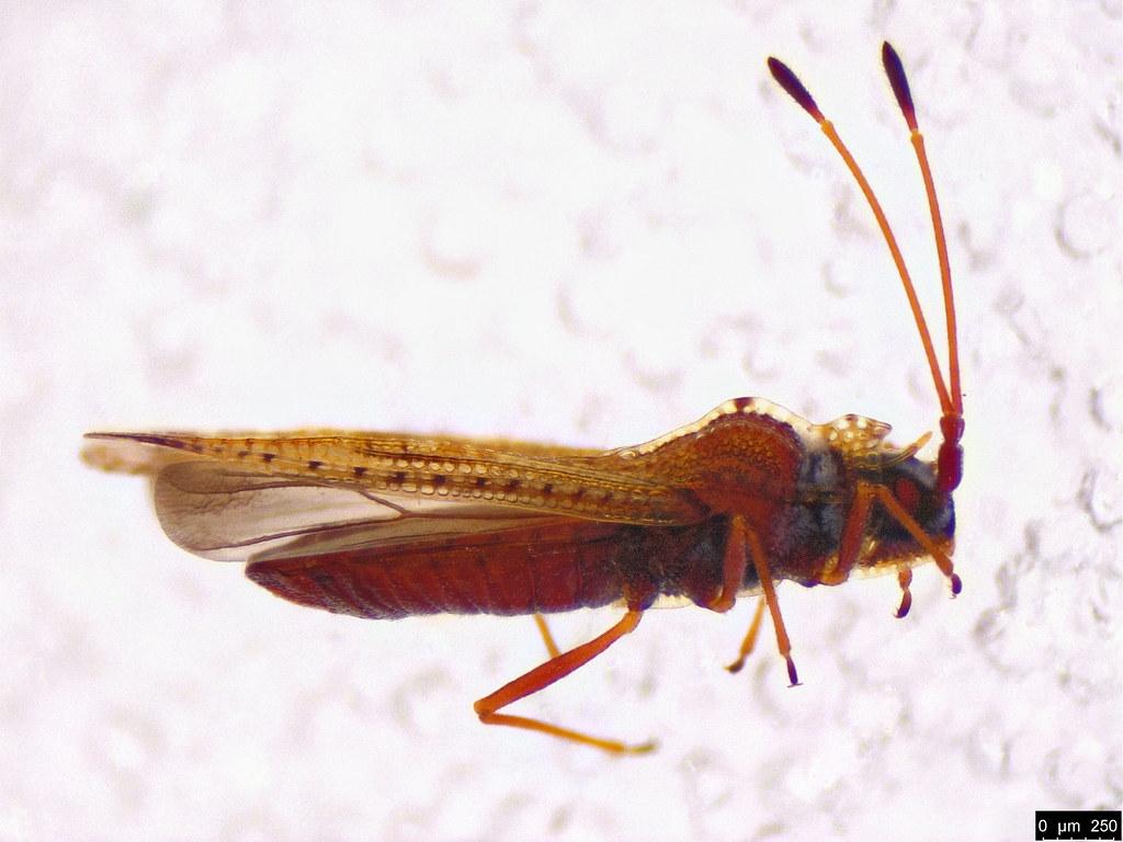 8a - Ulonemia sp.