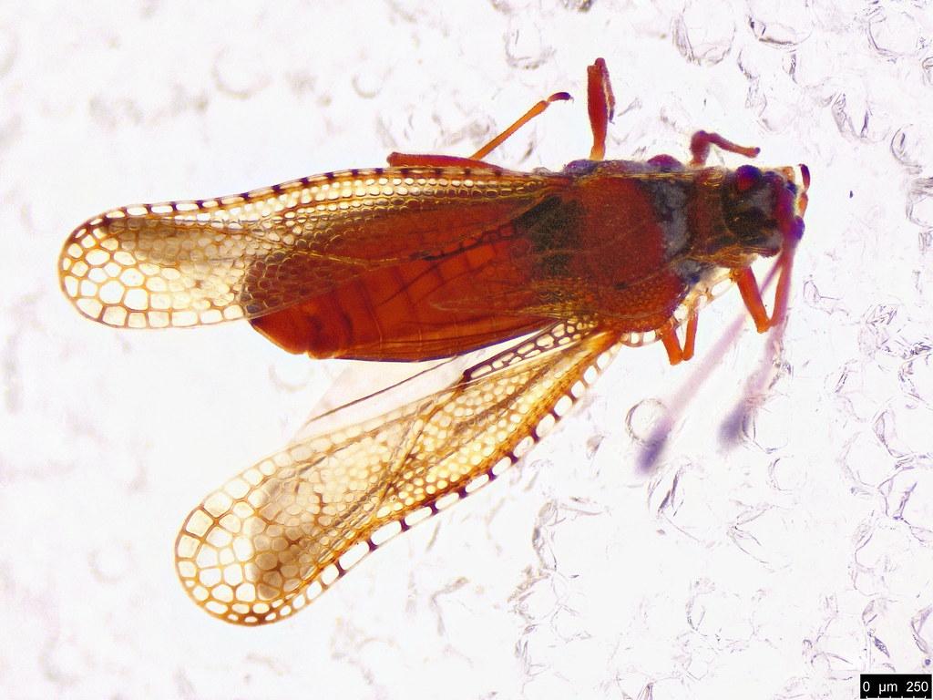 8b - Ulonemia sp.