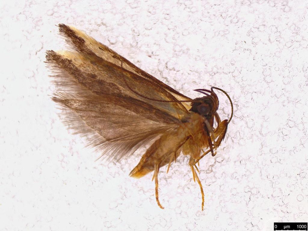 19 - Gelechioidea sp.