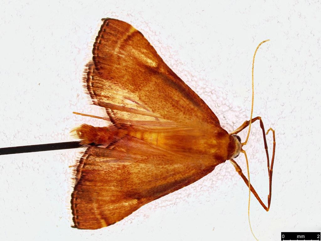 25 - Endotricha pyrosalis Guenée, 1854