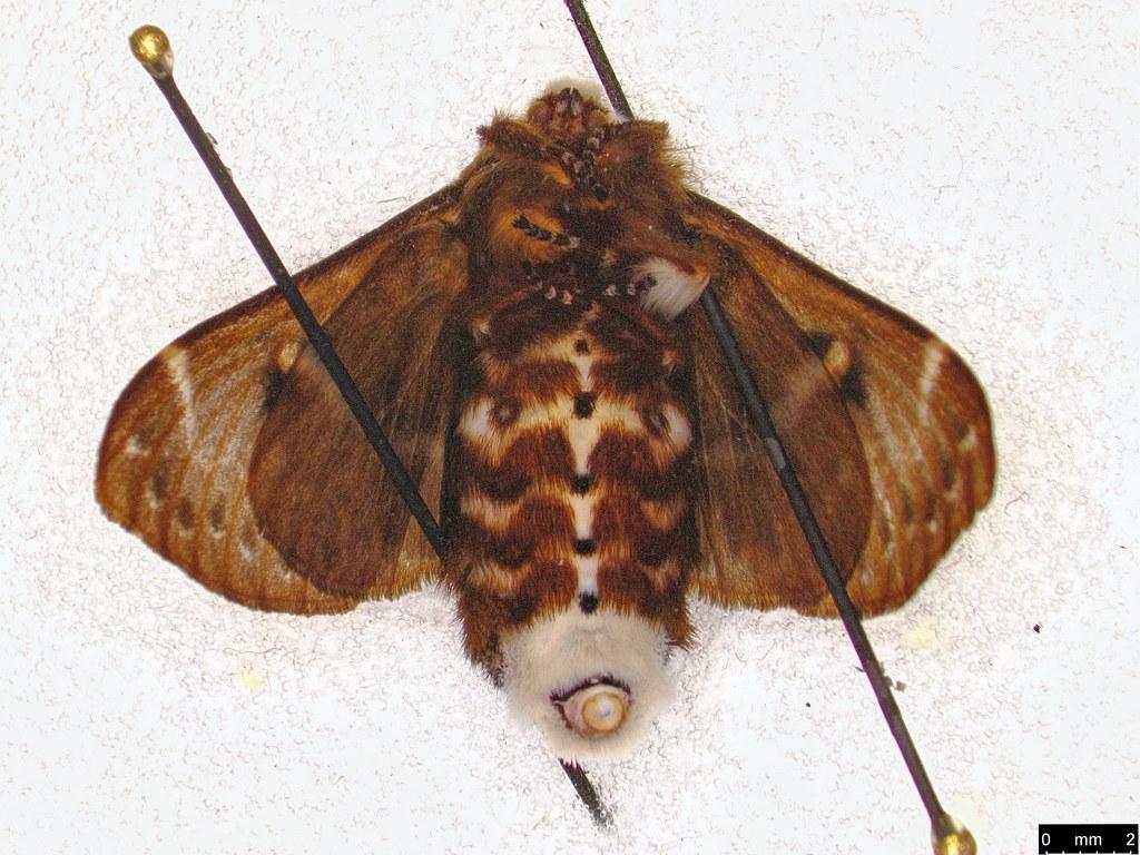 26b - Genduara punctigera (Walker, 1855)