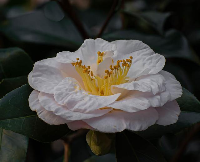 Winter White Camilla.