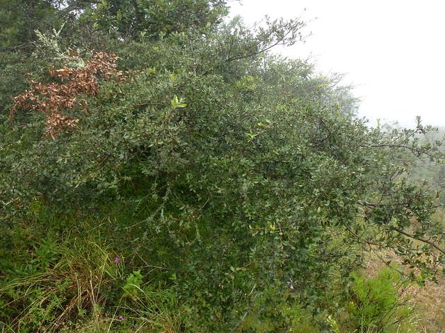 Quercus frutex Trel. 1924 (FAGACEAE).