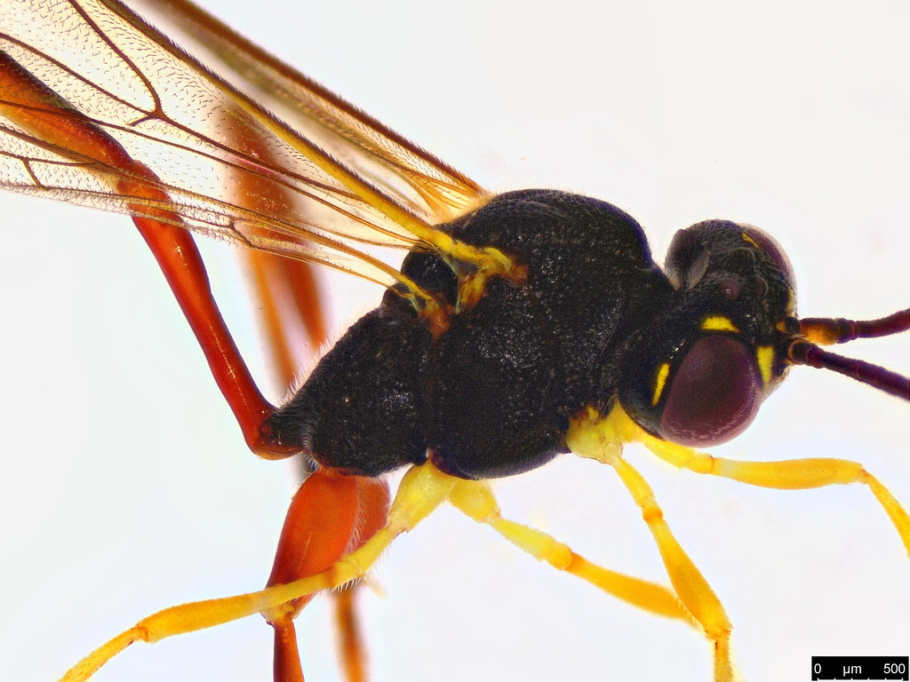 32b - Ichneumonidae sp.