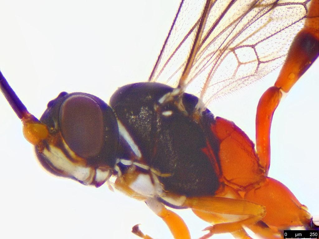 39b - Braconidae sp.