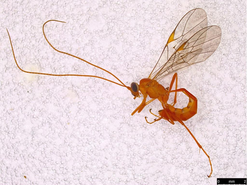 41a - Braconidae sp.