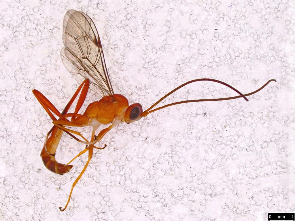 46 - Braconidae sp.