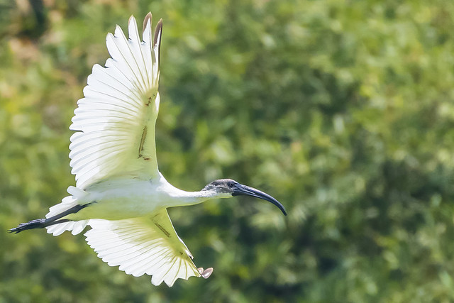 Ibis at Anna Zoological Park
