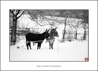 Donkeys in the snow | by Hans ter Horst Photography