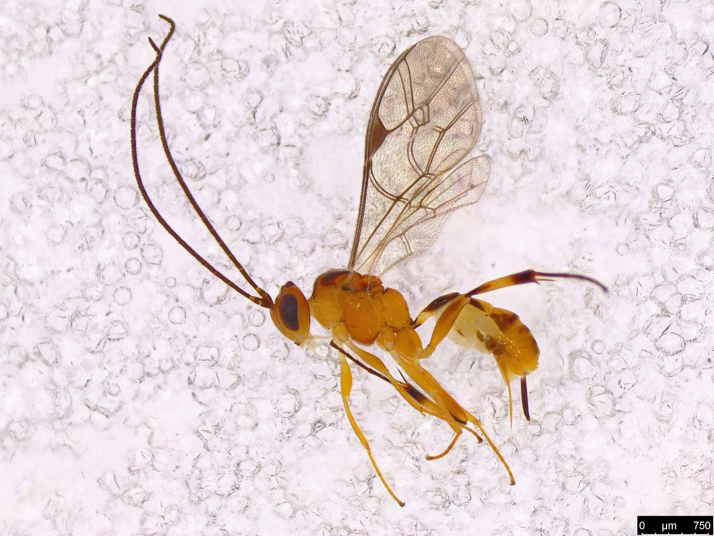 35a - Ichneumonidae sp.