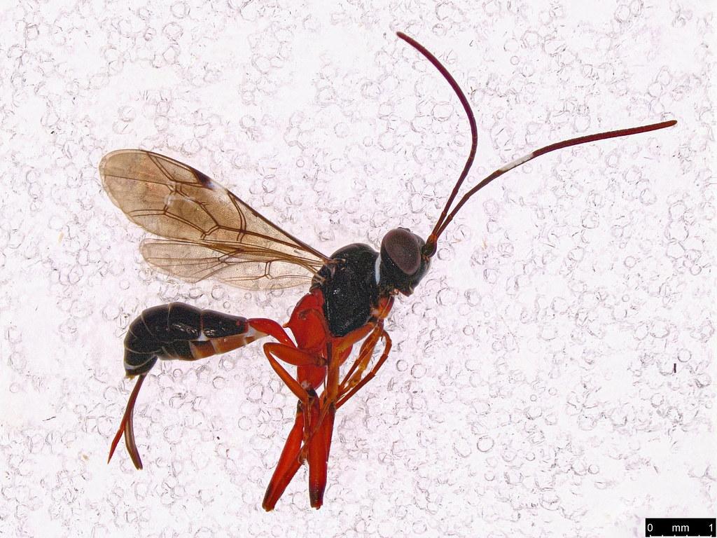 37a - Braconidae sp.