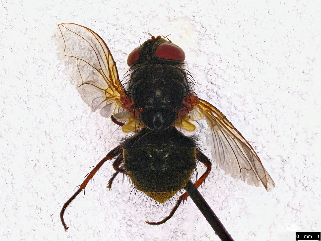 64a - Calliphoridae sp.