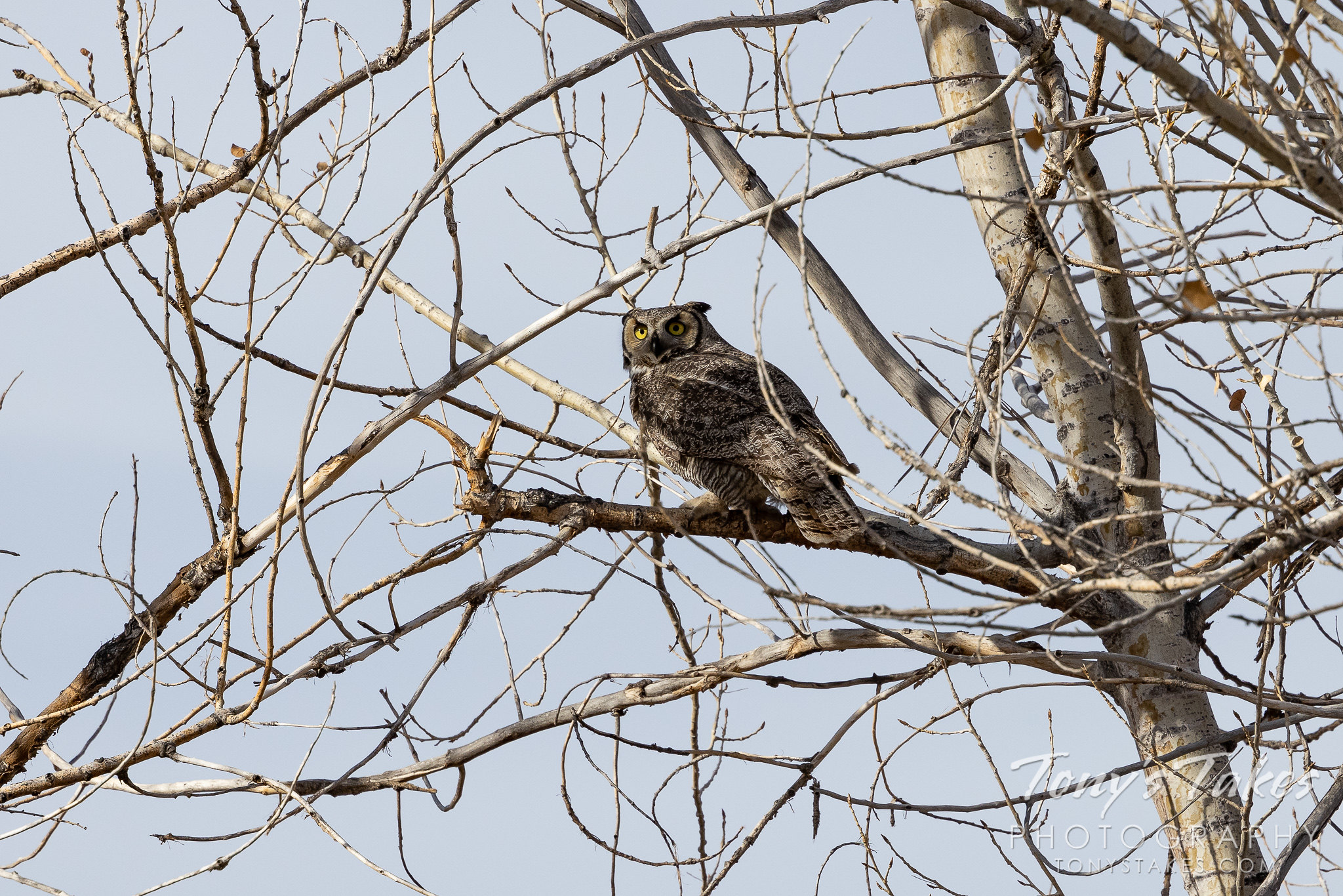A great horned owl debates where to hide after a dog disturbed its slumber. (Tony's Takes)