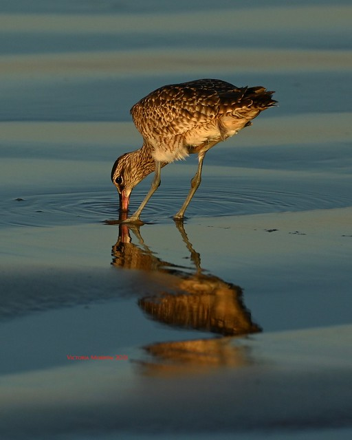Whimbrel digging for clams