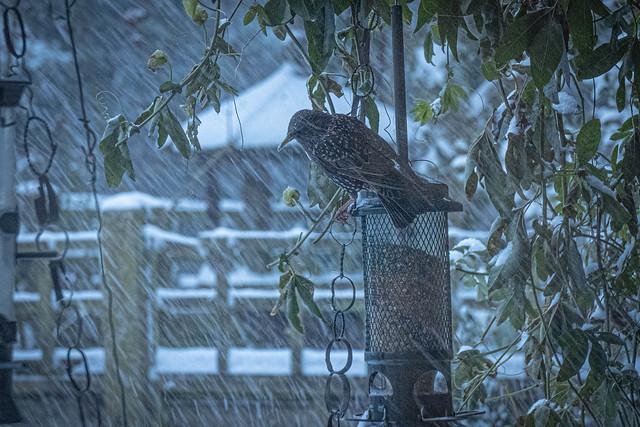 Starling sheltering #24
