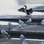 Cormorant spreading wings at Preston Docks