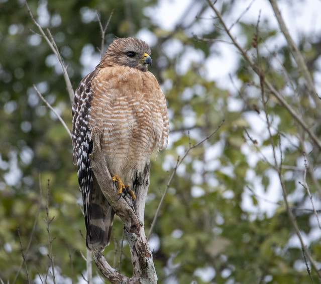Red Shouldered Hawk (Barry's)