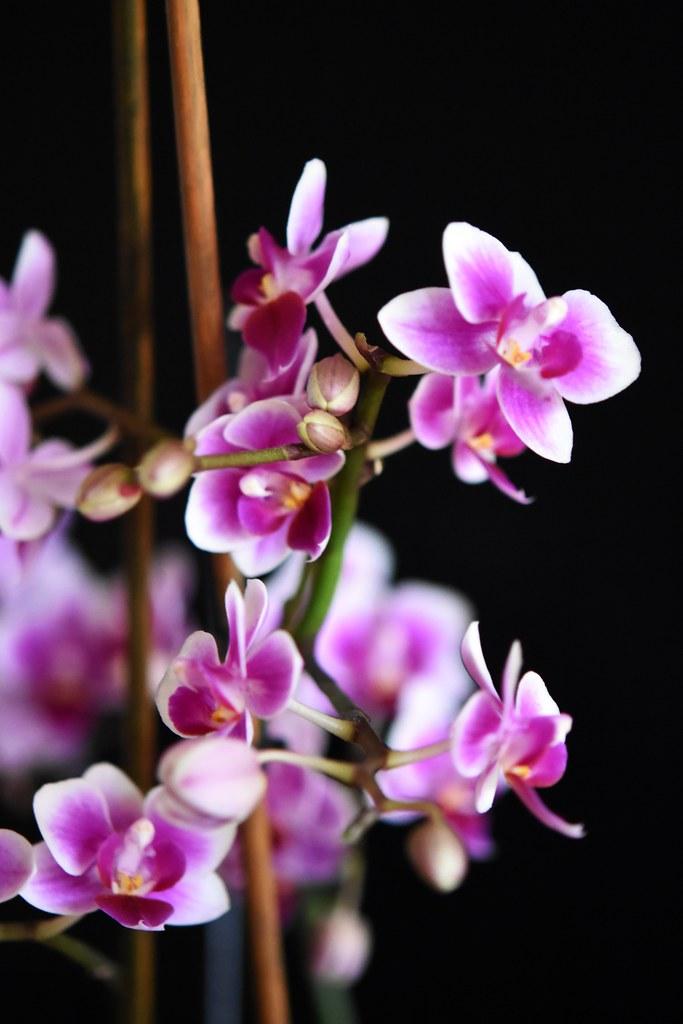 Orchideenblüten 9