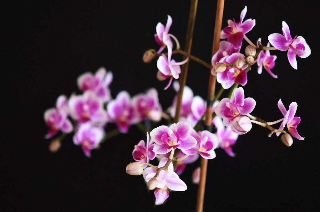 Orchideenblüten 12