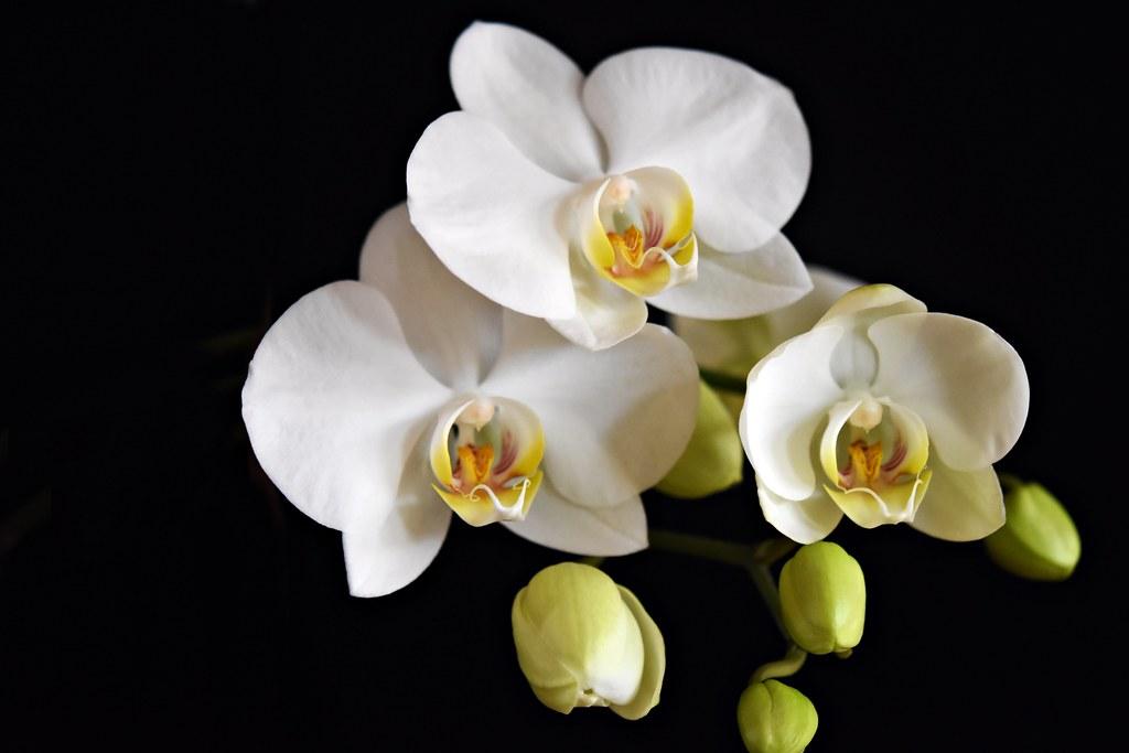 Orchideenblüten 2