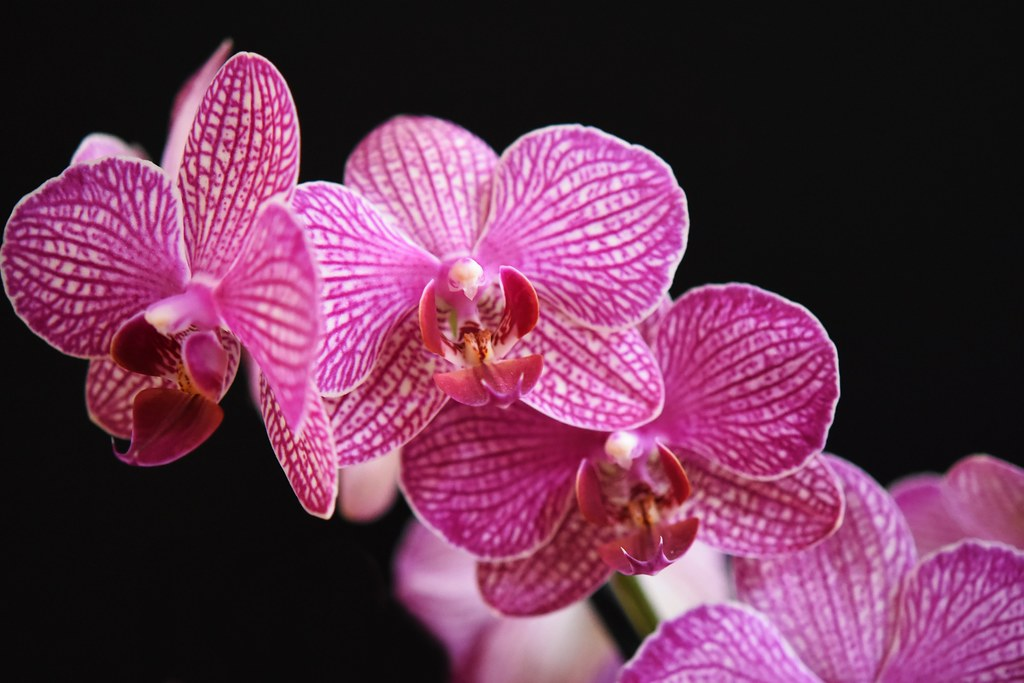 Orchideenblüten 4