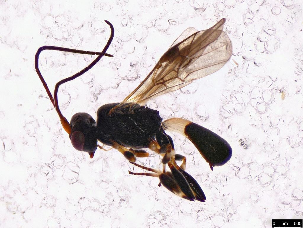 47 - Chelonus sp.