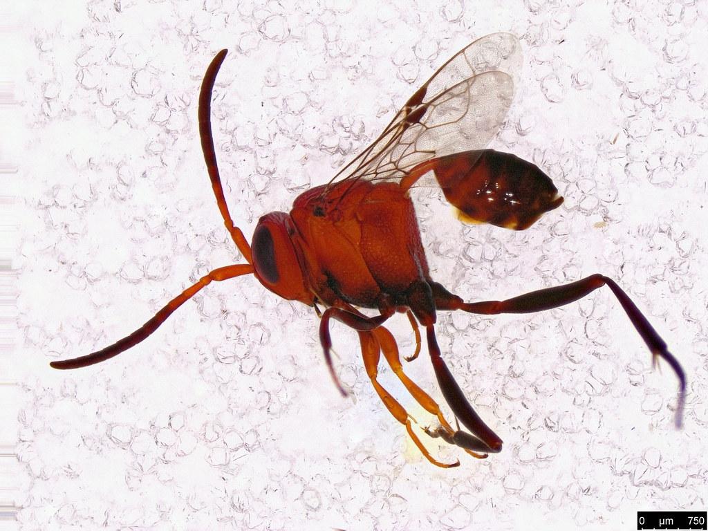 50a - Evaniidae sp.