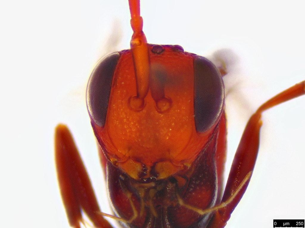 50c - Evaniidae sp.
