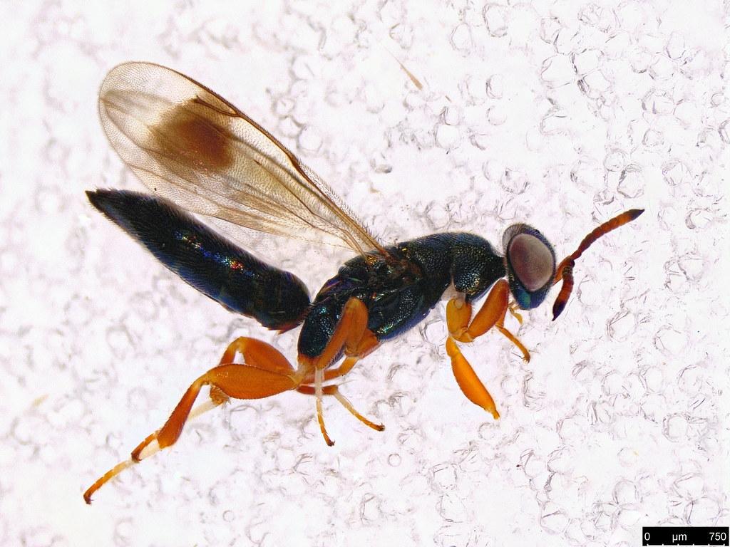 51a - Eulophidae sp.