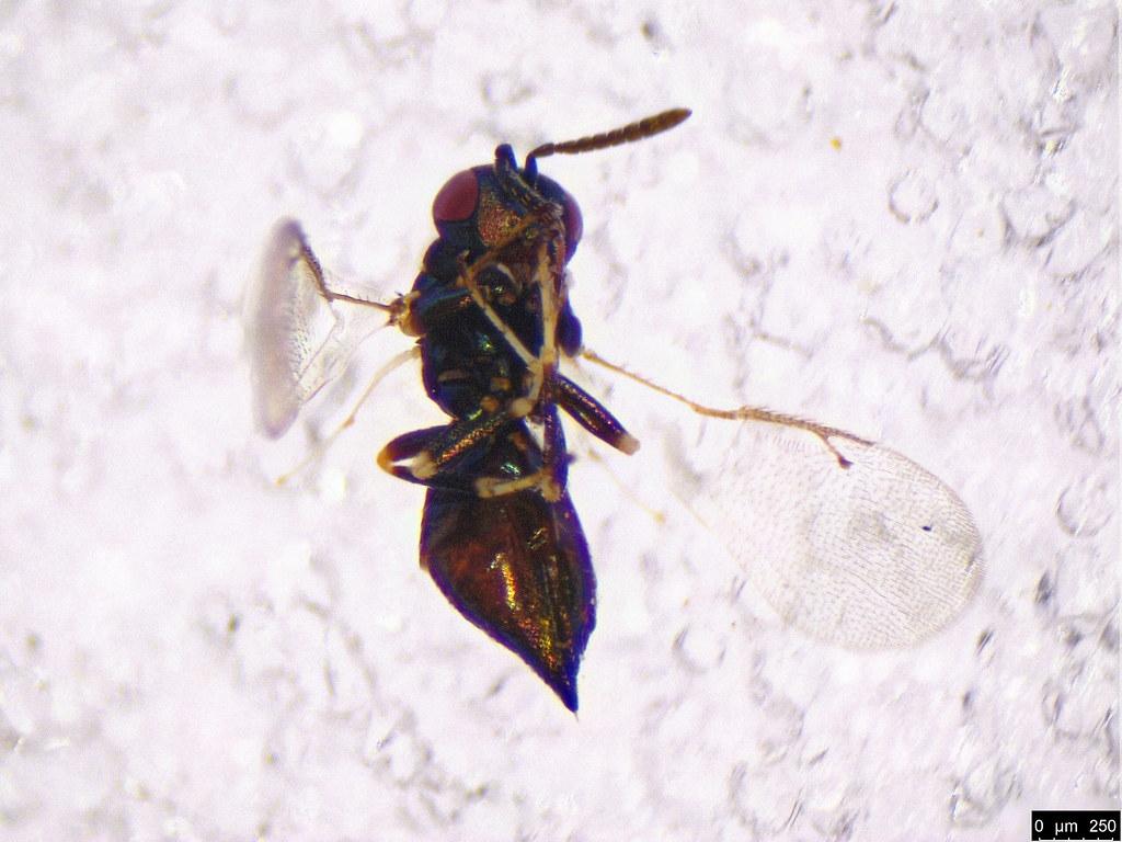 52b - Eulophidae sp.