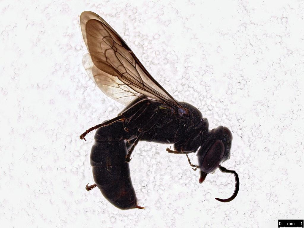 56a - Crabronidae sp.