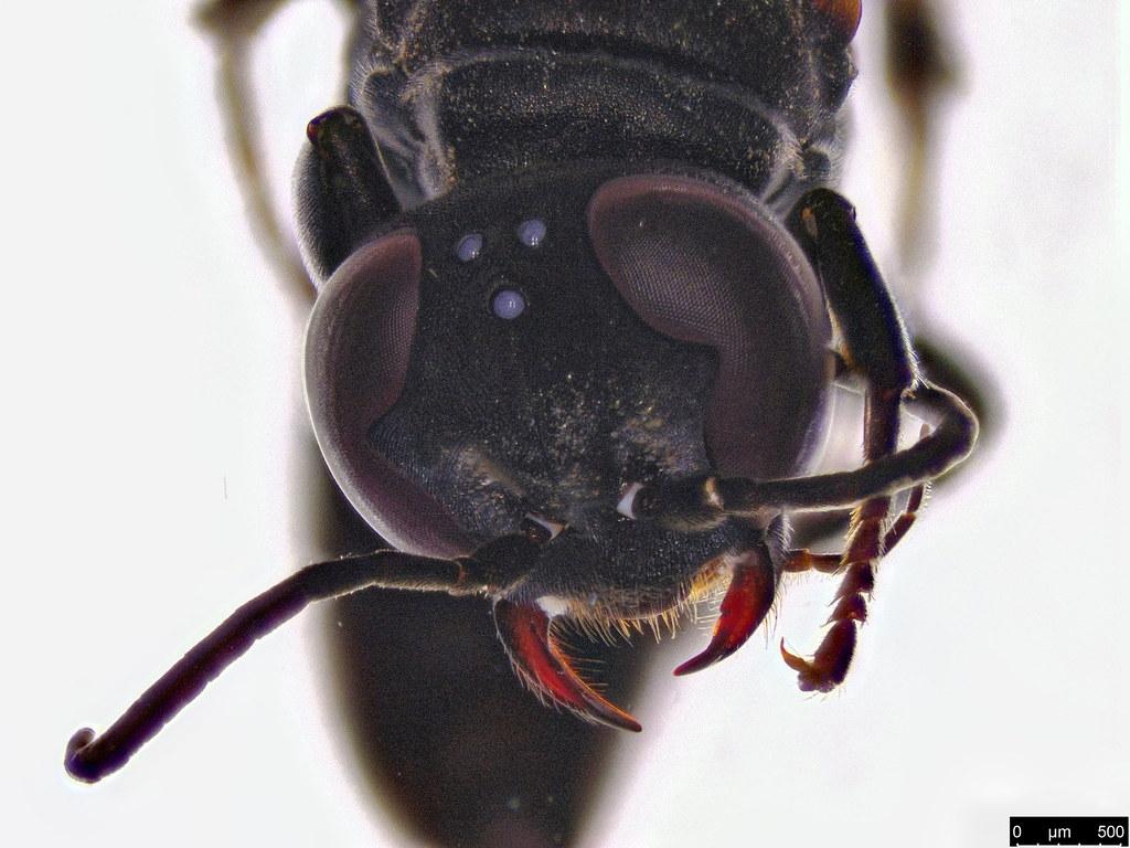 56b - Crabronidae sp.