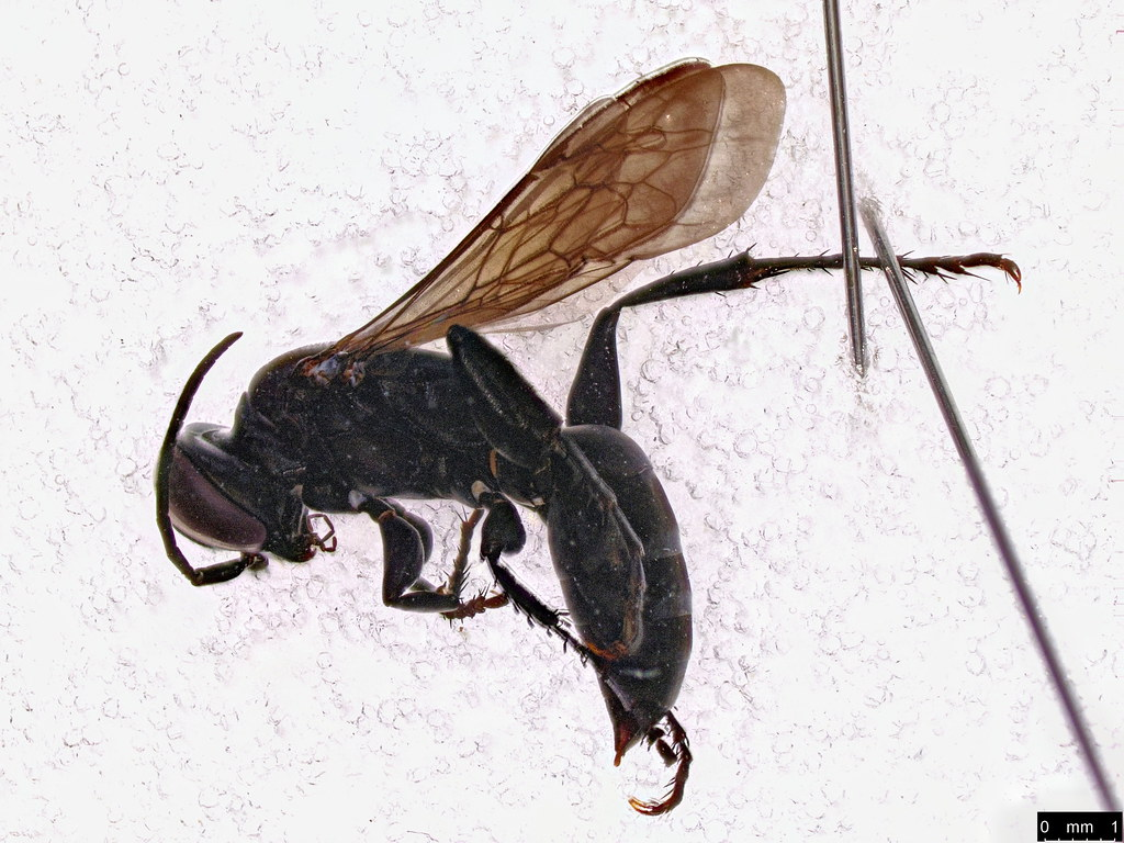 57a - Crabronidae sp.