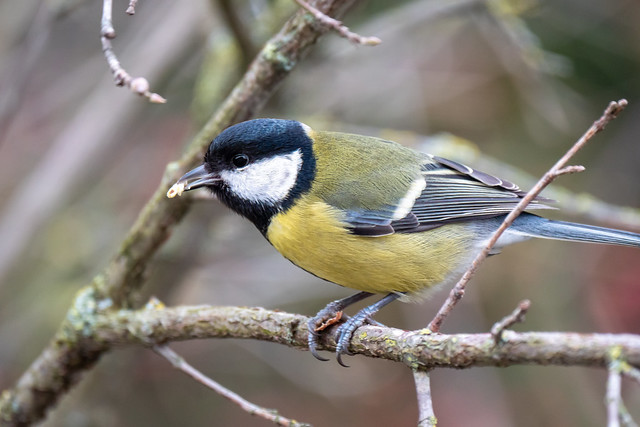 Kohlmeise - Great tit