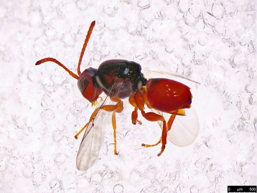 49a - Hymenoptera sp.