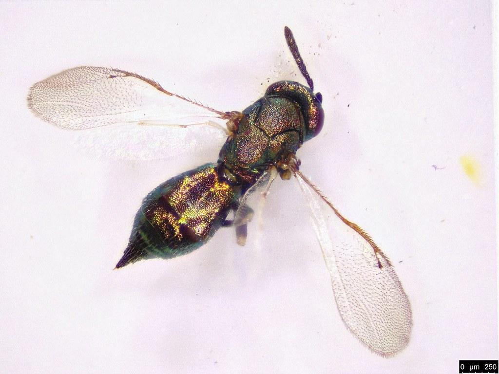 52a - Eulophidae sp.