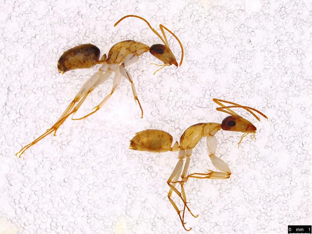 60a - Camponotus sp.