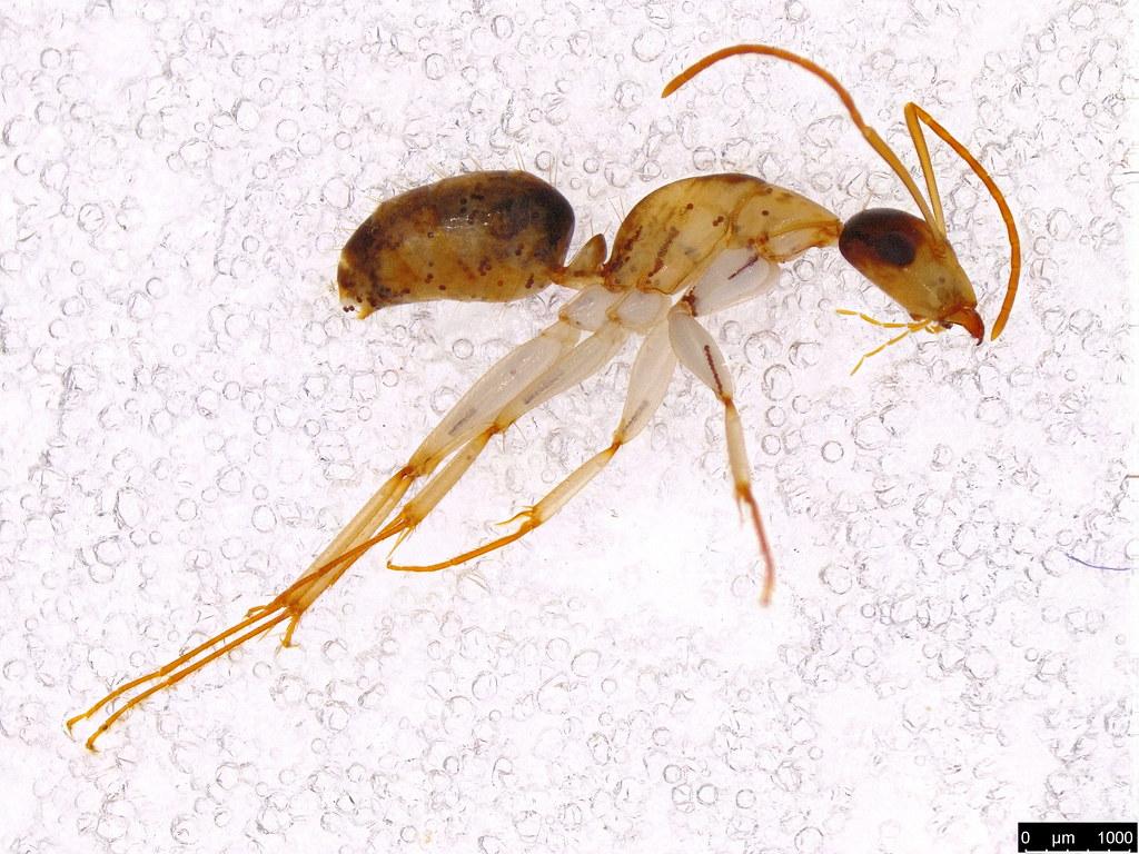 60b - Camponotus sp.