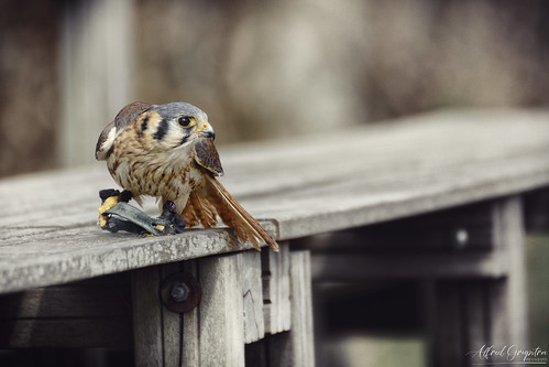 Active Kestrel