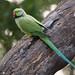 Halsbandsittich (Psittacula krameri) in Indien