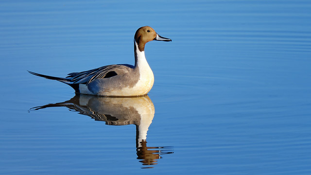 Tranquility: Nothern Pintail