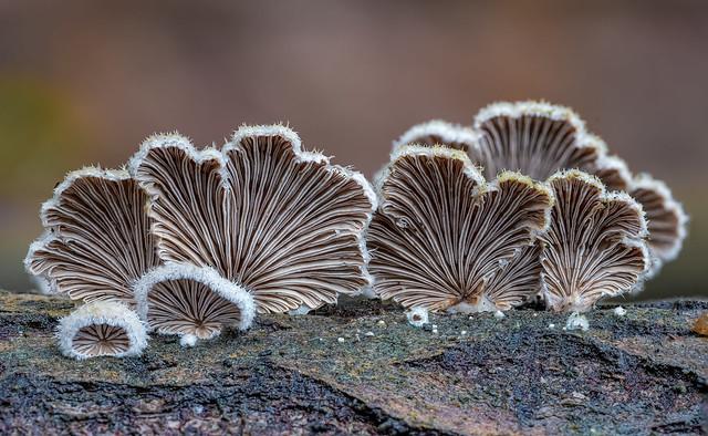 Gemeine Spaltblättlinge (Schizophyllum commune)