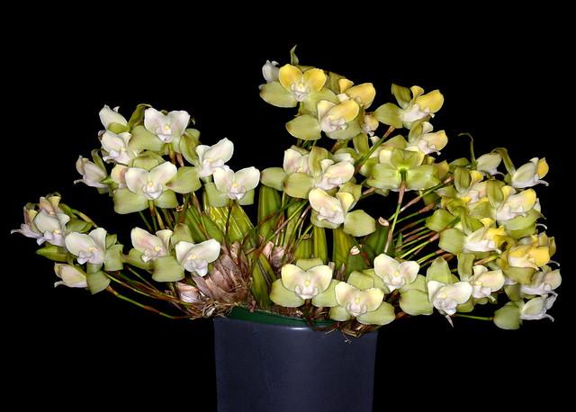 Lycaste brevispatha - Marni Turkel/Mostly Species Flasks