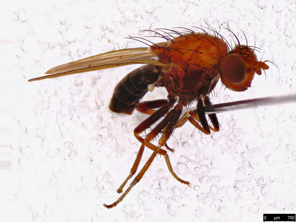 63a - Lauxaniidae sp.