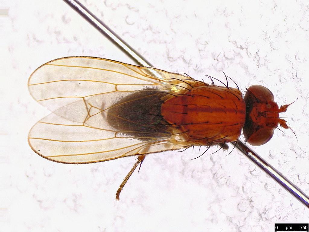 63b - Lauxaniidae sp.