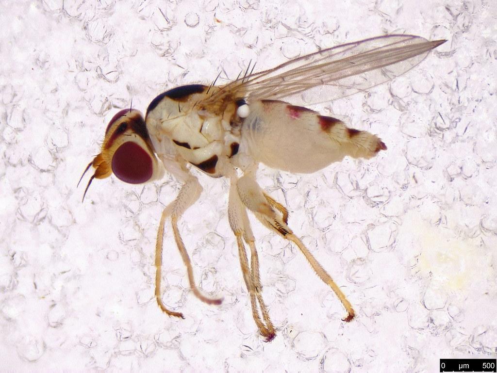 65 - Agromyzidae sp.