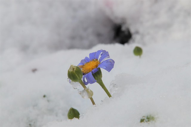 Tiny Purple Daisy in my Garden Today